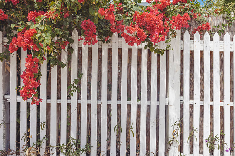 White Picket Fences with Flowers in Spring as Background Pattern for Suburban and Rural Lifestyle by Joselito Briones for Stocksy United