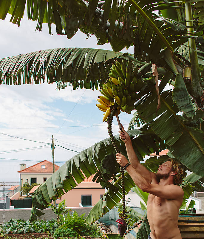 Man climbing a banana tree to harvest bananas by Denni Van Huis for Stocksy United