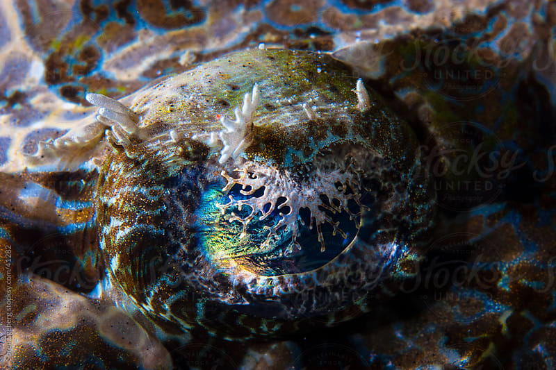 Close-up of Crocodile fish colorful eye underwater by Soren Egeberg for Stocksy United