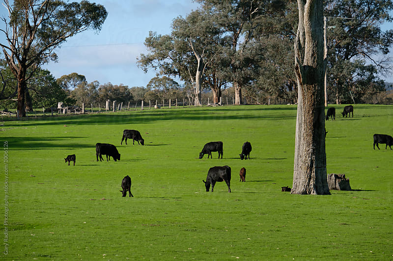 Black Cattle Grazing on a Green Paddock by Gary Radler Photography for Stocksy United