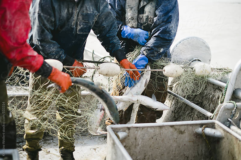 Commercial Fishermen picking salmon out of the nets by Kristine Weilert for Stocksy United