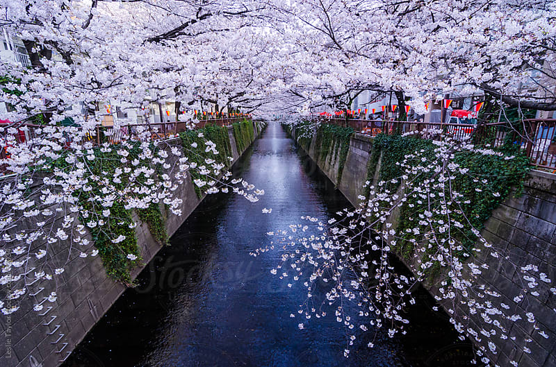 Cherry Blossoms In Tokyo Japan by Leslie Taylor for Stocksy United
