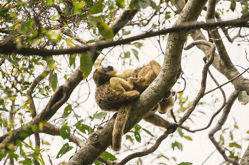 Howler monkeys by michela ravasio for Stocksy United