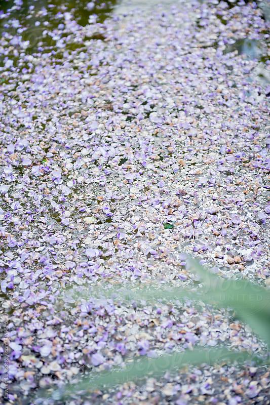 A large fleck of purple petals  by Lawren Lu for Stocksy United