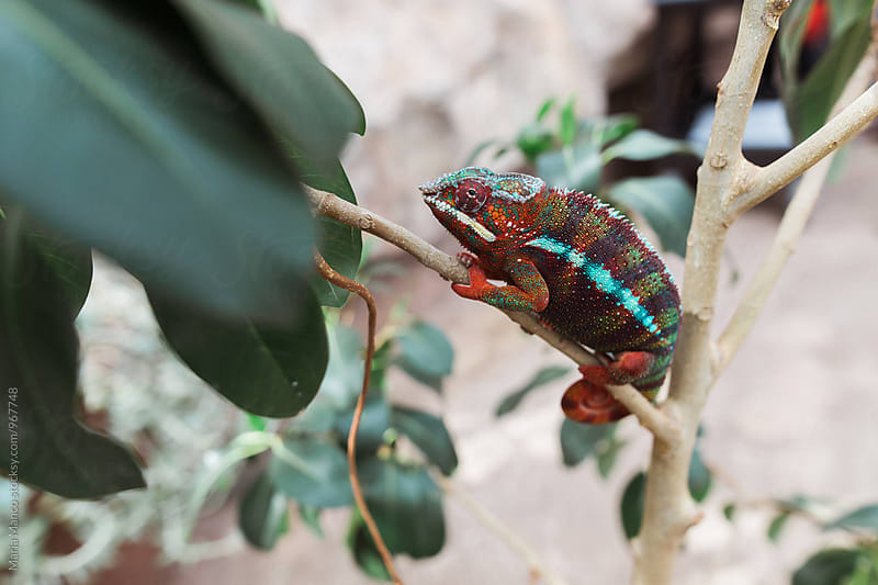 chameleon on branch by Maria Manco for Stocksy United