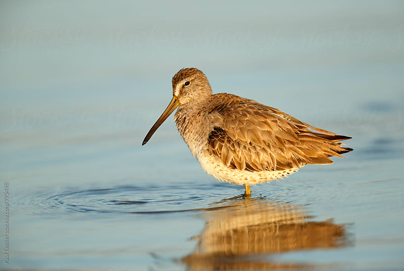 Long-billed Dowitcher by Paul Tessier for Stocksy United