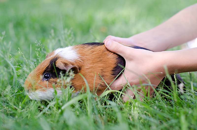 Child grabs his pet guinea pig  by Cara Dolan for Stocksy United