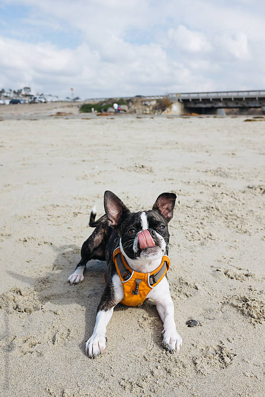 Bruce the Boston Terrier at play by Shannon Aston for Stocksy United