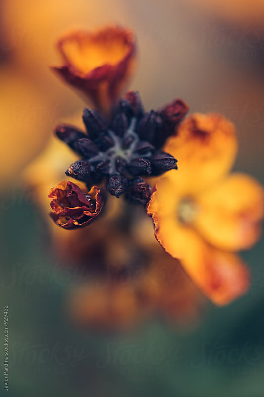 details of orange flowers by Javier Pardina for Stocksy United