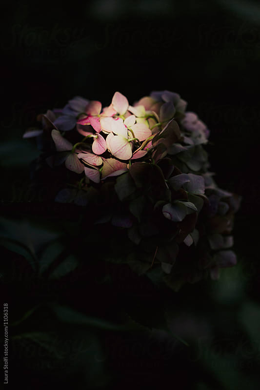 Close up of hydrangea flower in dark shadow with some petals illuminated by sunlight