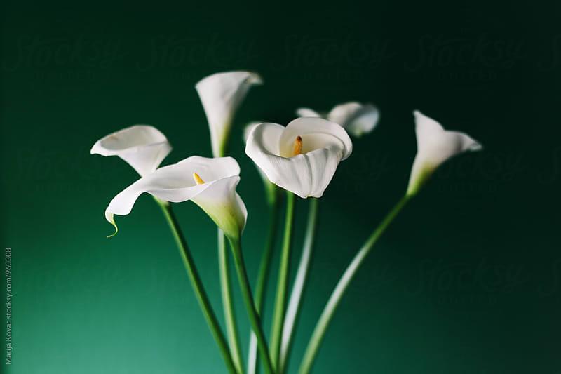 White callas bouquet by Marija Kovac for Stocksy United