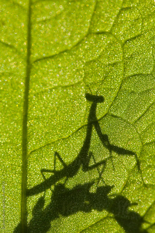 Praying Mantis Silhouette Behind a Leaf by Brandon Alms for Stocksy United