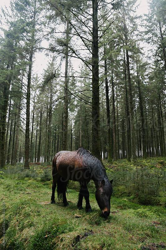 Wild Dartmoor Pony by Agencia for Stocksy United