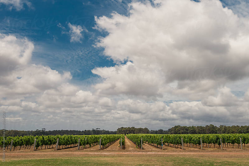 vineyard in western australia by Gillian Vann for Stocksy United