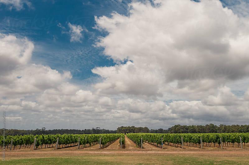 vineyard in western australia by Gillian Vann for Stocksy United