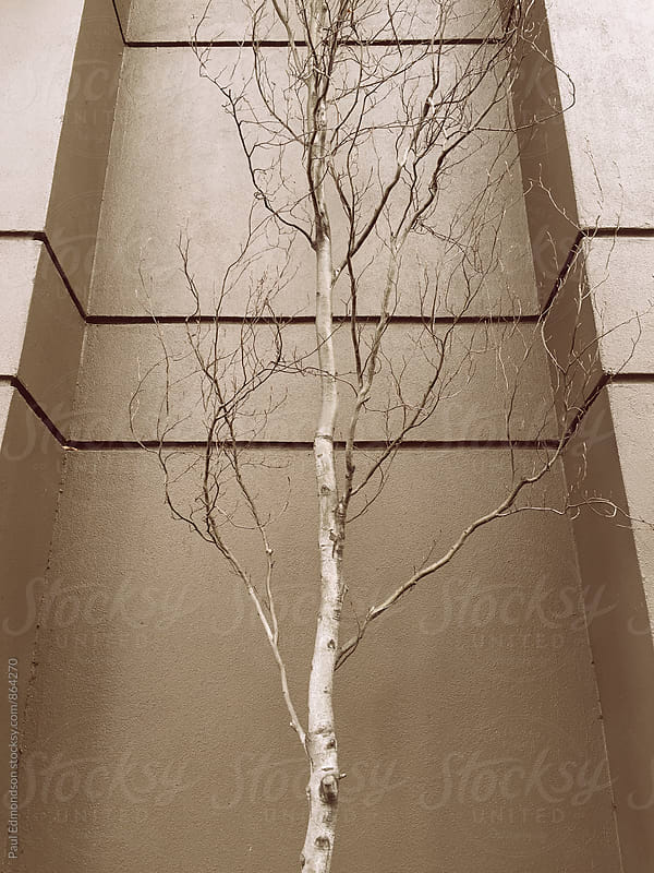 Aspen tree in front of building wall by Paul Edmondson for Stocksy United