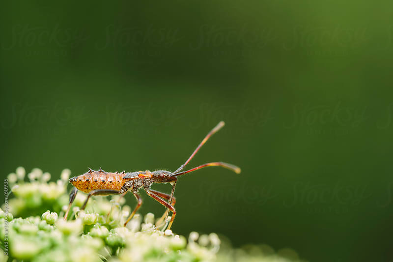 A predatory assassin bug sitting on parsley flower ready to capt by David Smart for Stocksy United