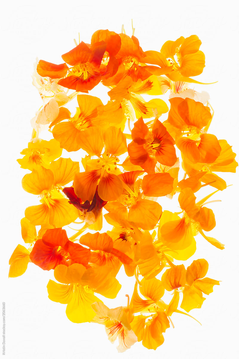 Orange Nasturtium Flowers Against White Background By Kristin