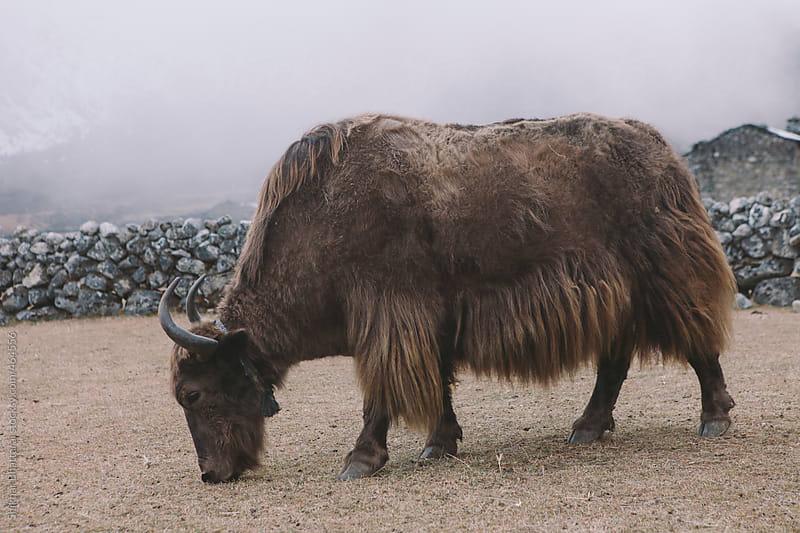 A yak grazing high up in the himalayas, Everest Region, Nepal. by Shikhar Bhattarai for Stocksy United
