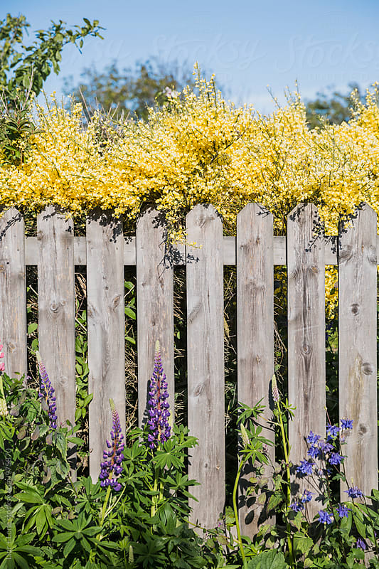 Old wooden fence with colourful spring flours around it