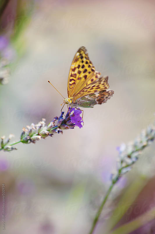 Macro catch of yellow spotted butterfly pollinating lavandula flower by Laura Stolfi for Stocksy United