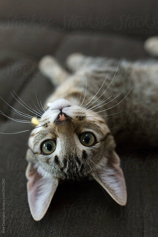 A tabby kitten laying upside-down looking at the camera by Amy Covington for Stocksy United