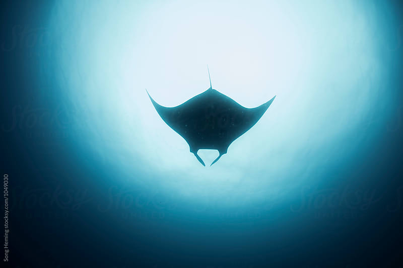 A  Manta Ray swimming on the top by Song Heming for Stocksy United