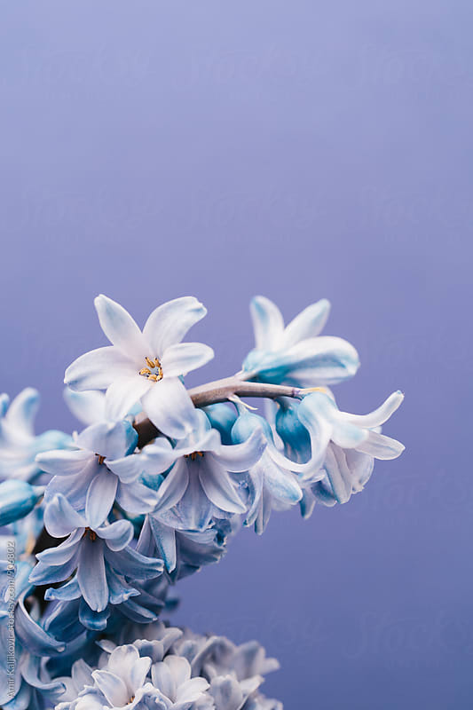 Delicate lilac on violet background by Amir Kaljikovic for Stocksy United