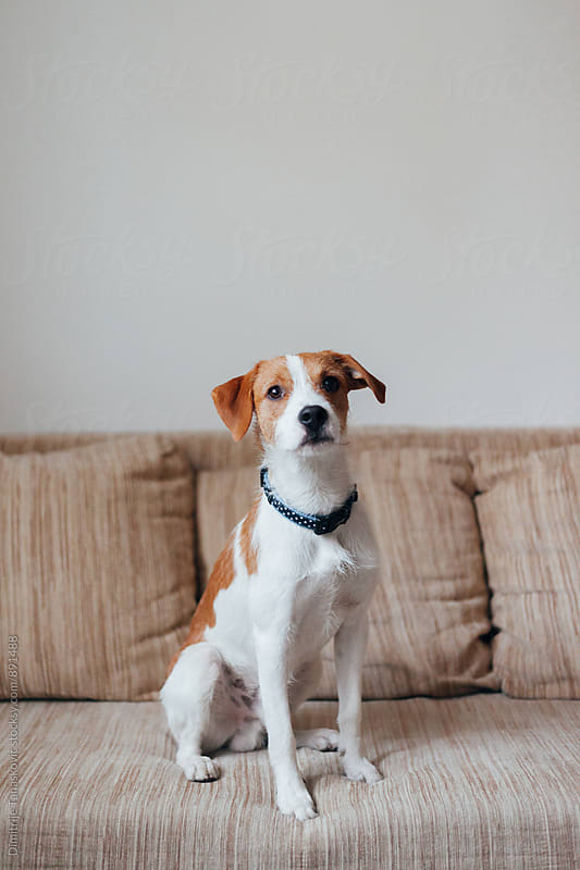 Jack russell terrier on the bed by Dimitrije Tanaskovic for Stocksy United