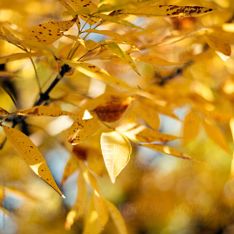 Yellow autumn leaves by Pixel Stories for Stocksy United