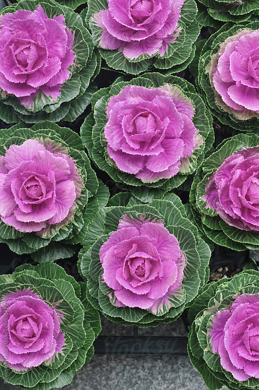 Fresh Purple cabbage by Rowena Naylor for Stocksy United