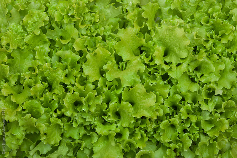Bed of leaf lettuce  by David Smart for Stocksy United