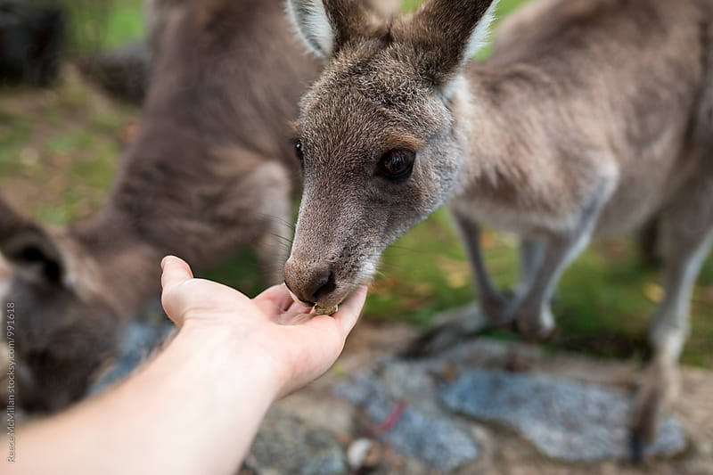 Hand feeding a small kangaroo by Reece McMillan for Stocksy United