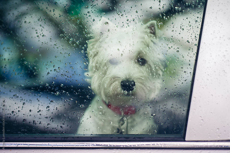 White dog looking sadly out a raindrop covered car window by Angela Lumsden for Stocksy United