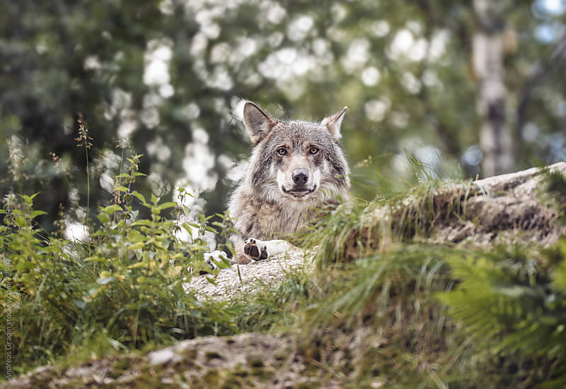 Wolf by Andreas Gradin for Stocksy United