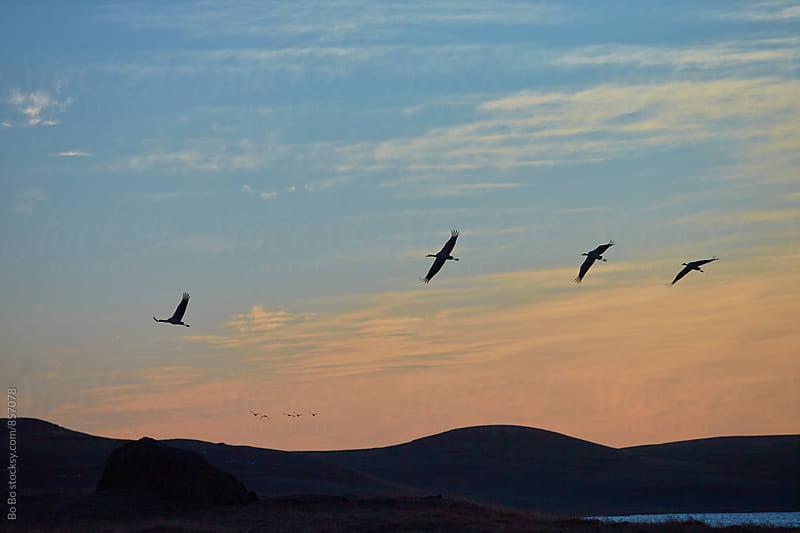 flock of bird flying in the dawn sky by Bo Bo for Stocksy United