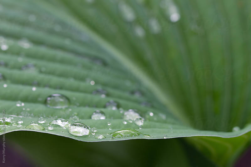 Macro of rain drops on green leaf by Kerry Murphy for Stocksy United