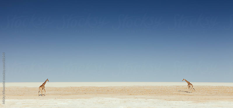 Two Giraffes on a salt flat in Namibia by Micky Wiswedel for Stocksy United