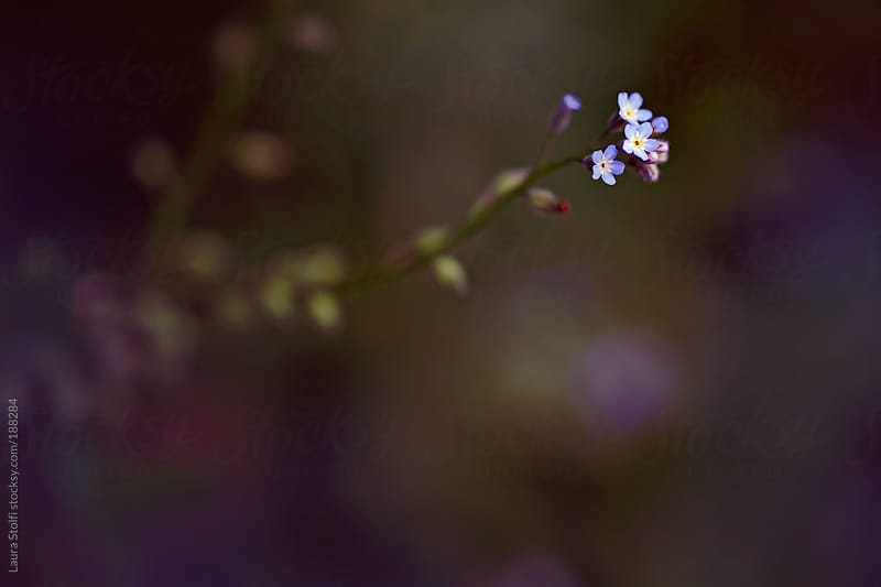Forget-me-nots on dark blurred background in garden by Laura Stolfi for Stocksy United
