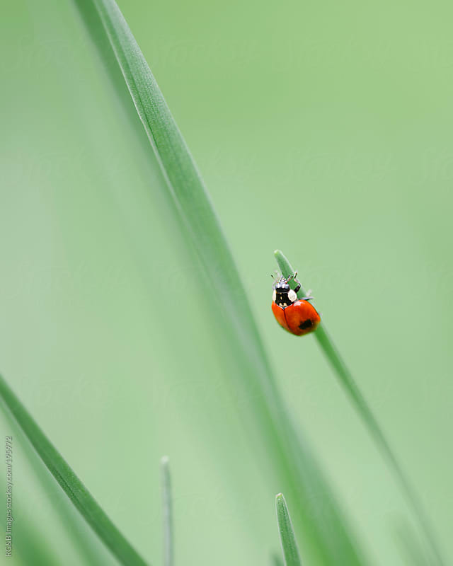 ladybug upside down  by RG&B Images for Stocksy United