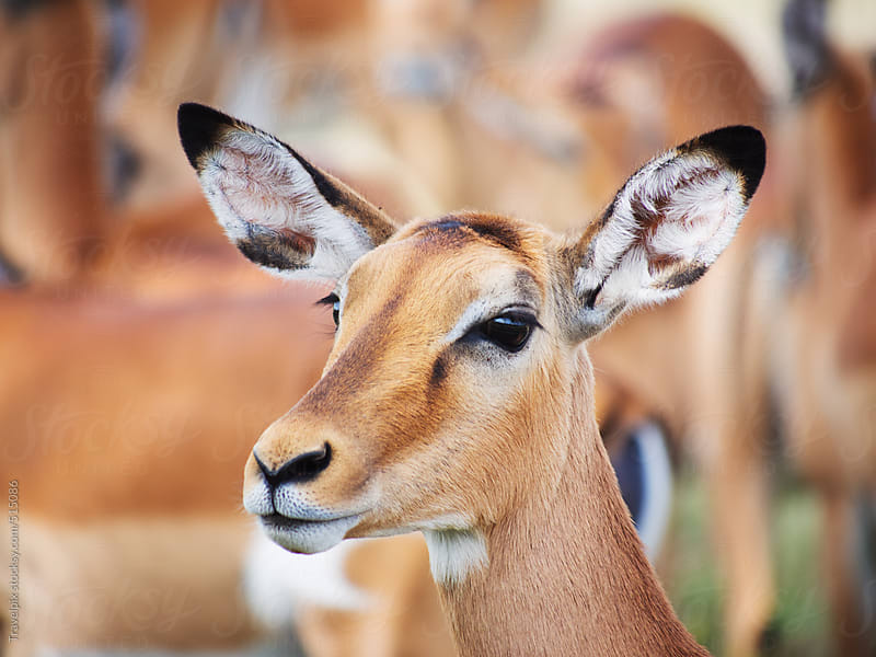 Impala portrait. Lake Nakuru National Park Kenya by Travelpix for Stocksy United