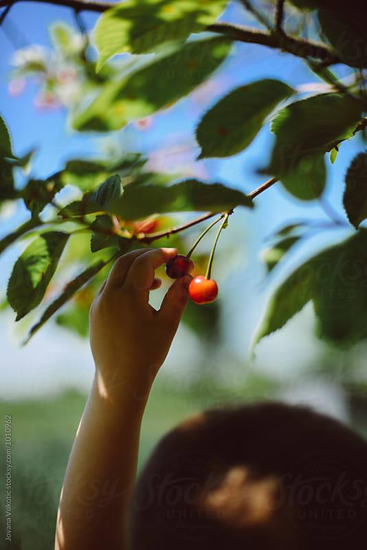 picking cherries by Jovana Vukotic for Stocksy United