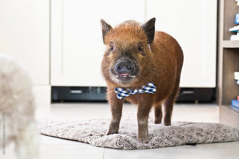 Pig in Bow Tie by Jill Chen for Stocksy United