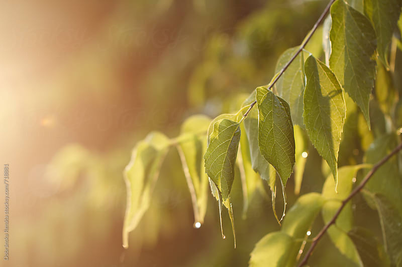 The sunlight shining through the green leaves by Dobránska Renáta for Stocksy United