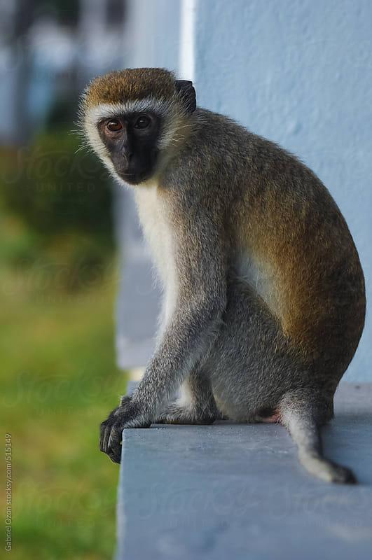 Vervet monkey by Gabriel Ozon for Stocksy United