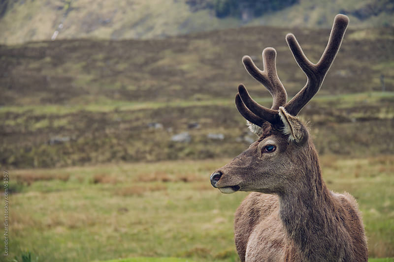 portrait of a wild deer in the scottish highlands by Leander Nardin for Stocksy United