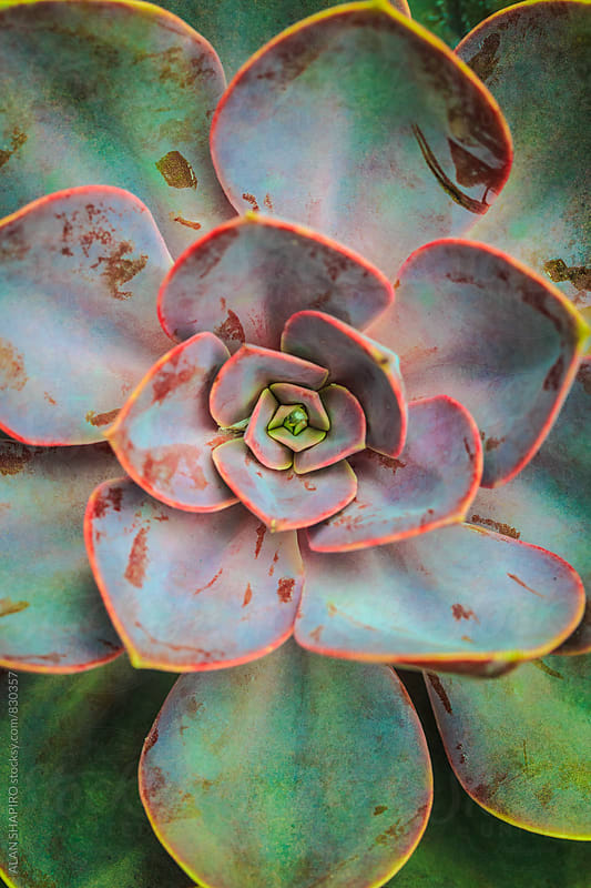succulent by alan shapiro for Stocksy United