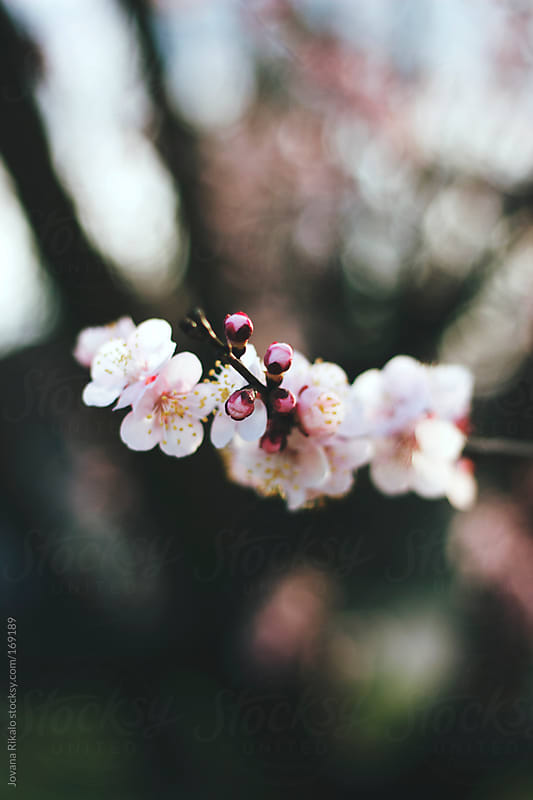 Cherry blossom in spring by Jovana Rikalo for Stocksy United