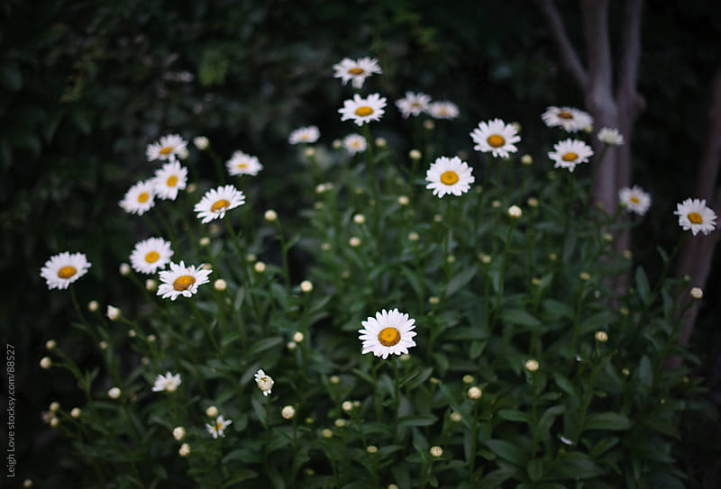 Shasta Daisies in The Evening by Leigh Love for Stocksy United