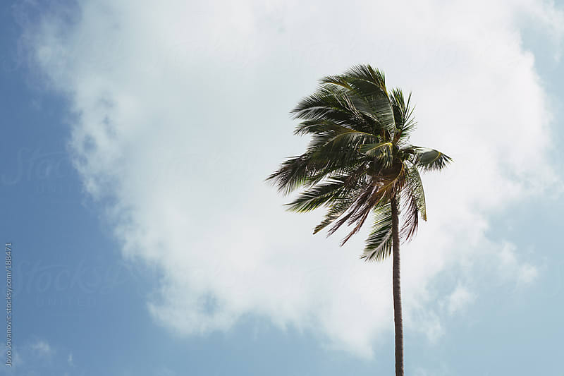High in the sky - tropical coconut tree on wind by Jovo Jovanovic for Stocksy United